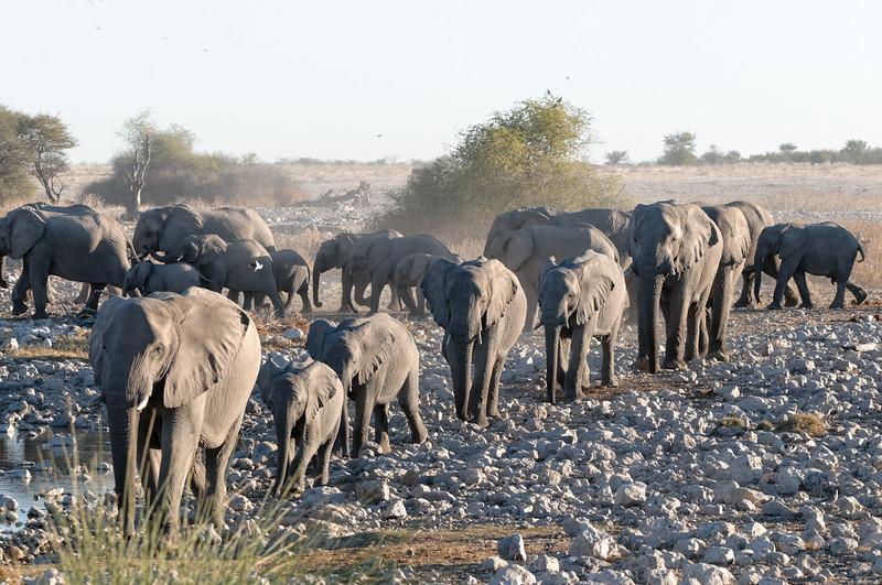 An einer Wasserstelle im Etosha Park sahen wir eine ganze Elefantenherde.