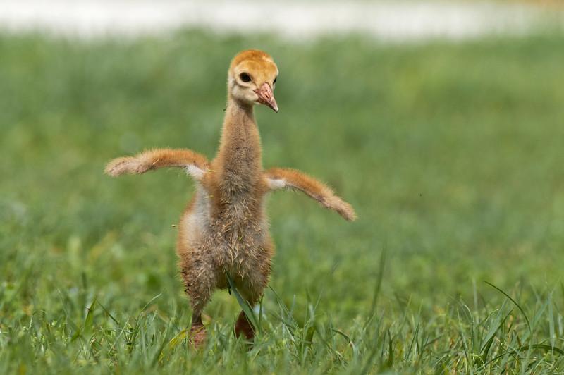 "The ""Happy Dance"" Sandhill crane colt chases its parent Riverbend Park, Jupiter, Florida © 2013"