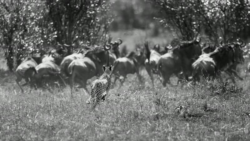 AF1T8532_cheetah_chase.jpg