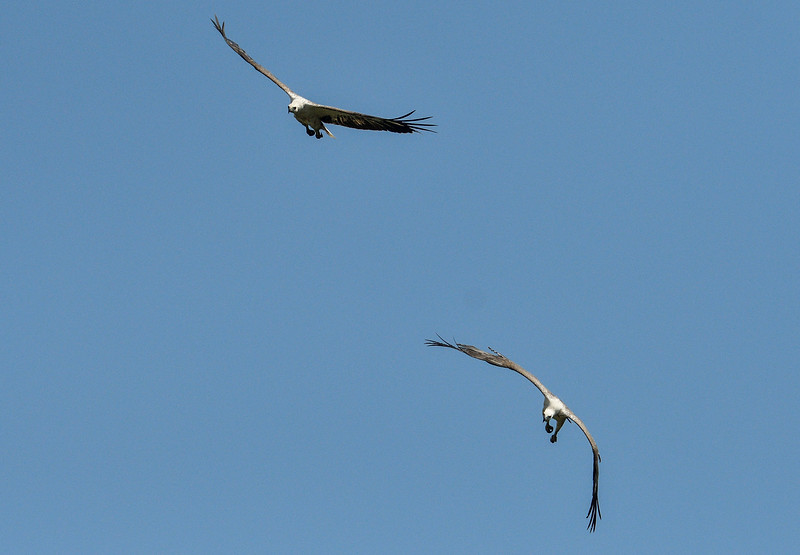 White-bellied-sea-eagles-andaman.jpg