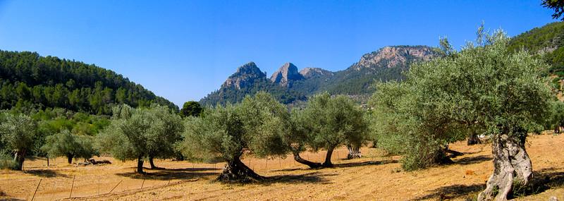 Olive Tree  Orchard (Olivam Uberem)  Mallorca,  Spain