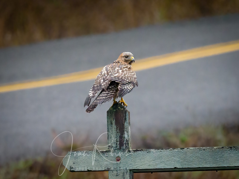 Red-shouldered Hawk in the rain