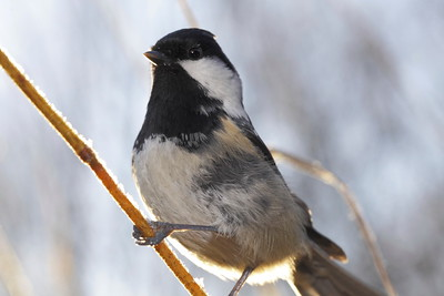 Portrait of a Coal tit