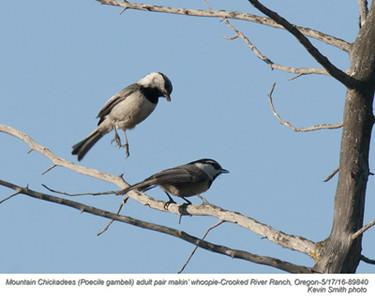 Mountain Chickadees P89840.jpg