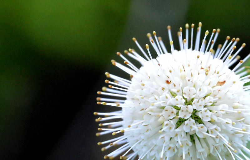 Buttonbush-closeup.jpg