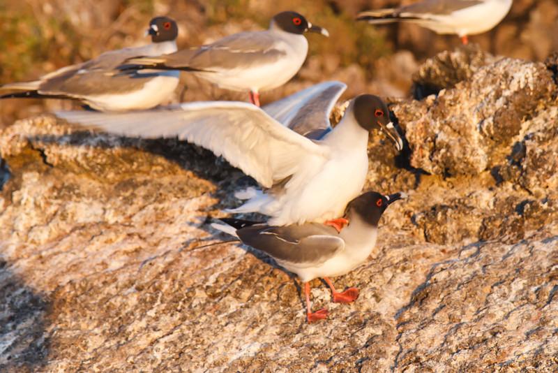 Swallow-tailed Gulls mating at Darwin Bay, Genovesa, Galapagos, Ecuador (11-25-2011) - 874.jpg