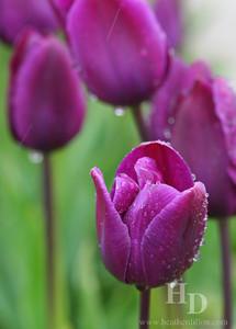2007-04 Tulip Marsh