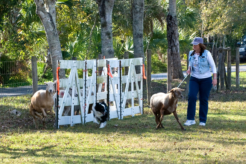 #405 - Justamere Gaelic Storm HTDI, Border Collie, competed in HRD I.  Owner - Kimberly & Paul Dahan