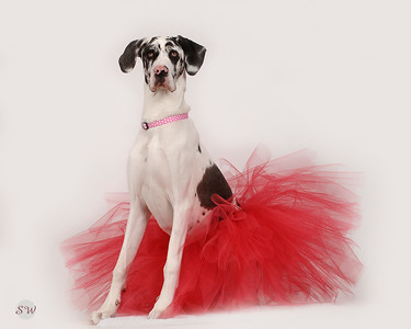 Great Dane in Tutu
