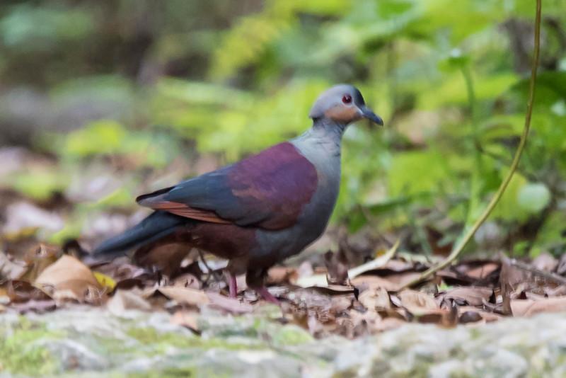 Quail-dove - Crested - Jamaica