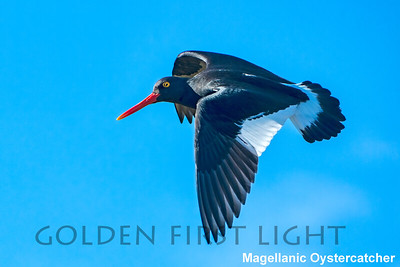 Magellanic Oystercatcher, Carcass Island, Falkland Islands