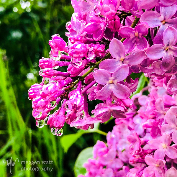 TLR-20190610-7022 lilacs in the rain