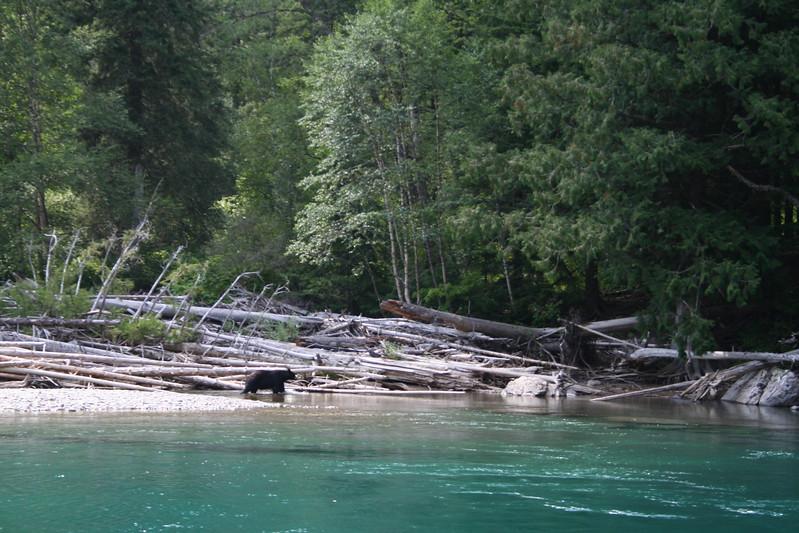 20110827 - 118 - GNP - Black Bear At Swimming Hole Along GTTS Road.JPG