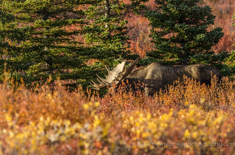 Big Guy Coming Through Denali National Park  Alaska © 2013