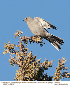Townsend's Solitaire A64167.jpg