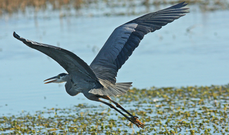 Great Blue Heron, Colusa NWR