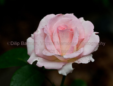 'Pink Promise'