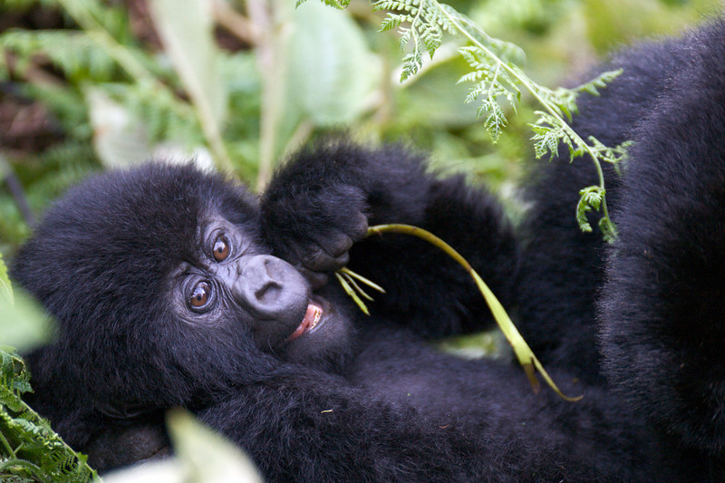 Gorillas  8429.jpg