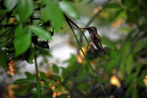 hummingbirds in april