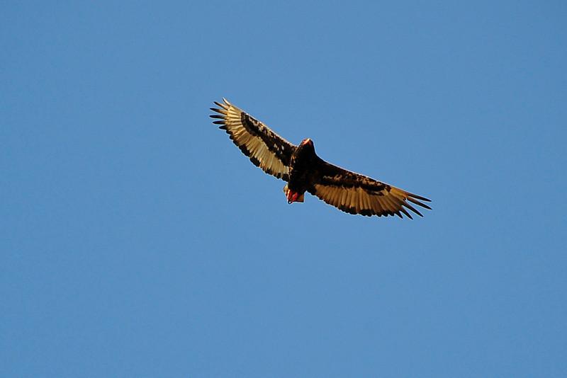 EPV1387 African Hawk-Eagle