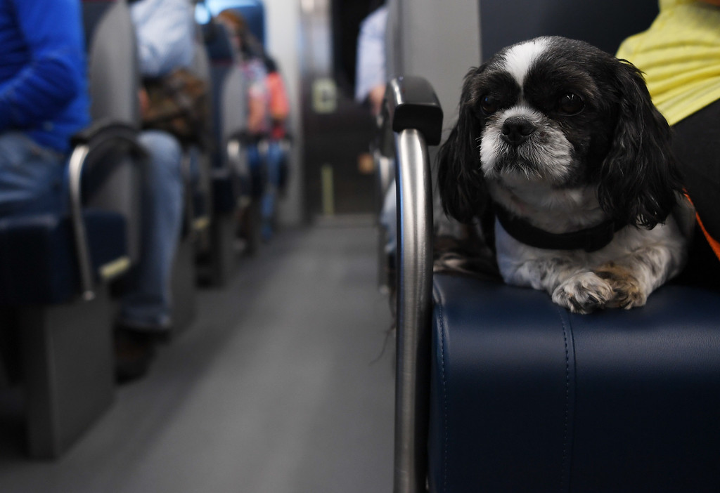 . A dog named Eddie takes a ride, next to his owner, on the new University of Colorado A-Line, April 22, 2016. The line is 23 miles with 8 stations along the way. (Photo by RJ Sangosti/The Denver Post)