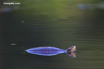 sm_turtle_M4D0641.jpg