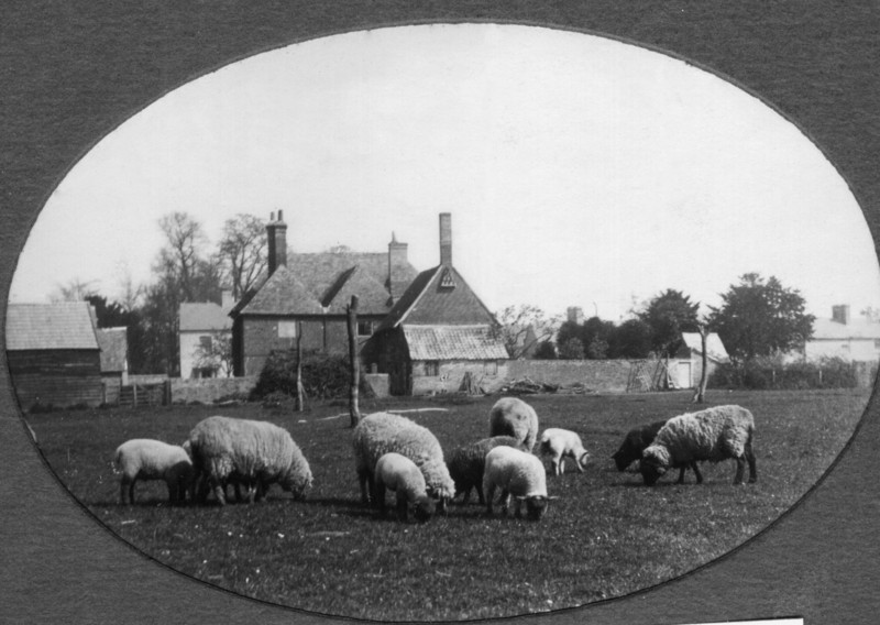 Sheep behind Ivy House (Rev Holland). Provided by Elizabeth Smith