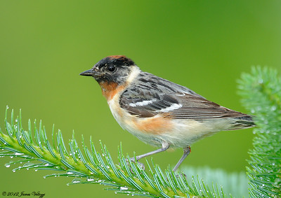 Bay-breasted Warbler, Dendroica castanea