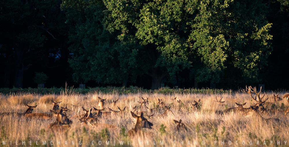 到英國攝影 倫敦里奇蒙公園 Richmond Park by Wilhelm Chang Photography