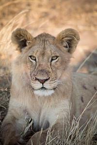 lions_MG_6381