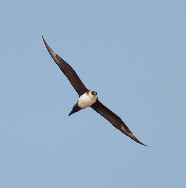 Parasitic Jaeger light adult summer Lake Superior Wisconsin Point Superior WI IMG_9307.jpg