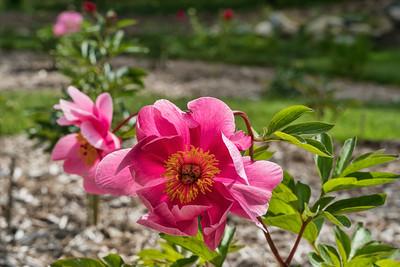 Lotus Bloom peony (Bed 20), Albiflora x officinalis