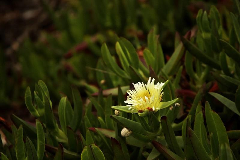 Kvetoucí sukulent