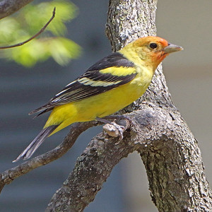 2019-04-15 Western Tanager