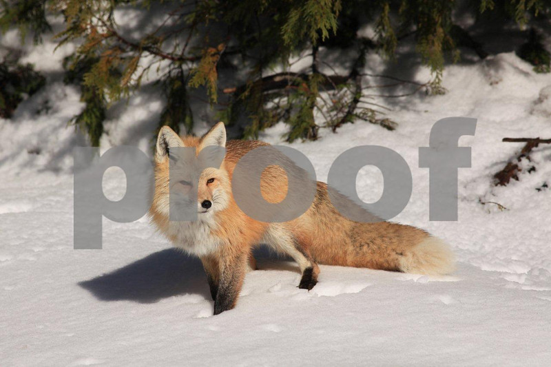 Cascade red fox, 0395, is a sub-species that only lives at the higher elevations, often seen in Mt. Rainier National Park.