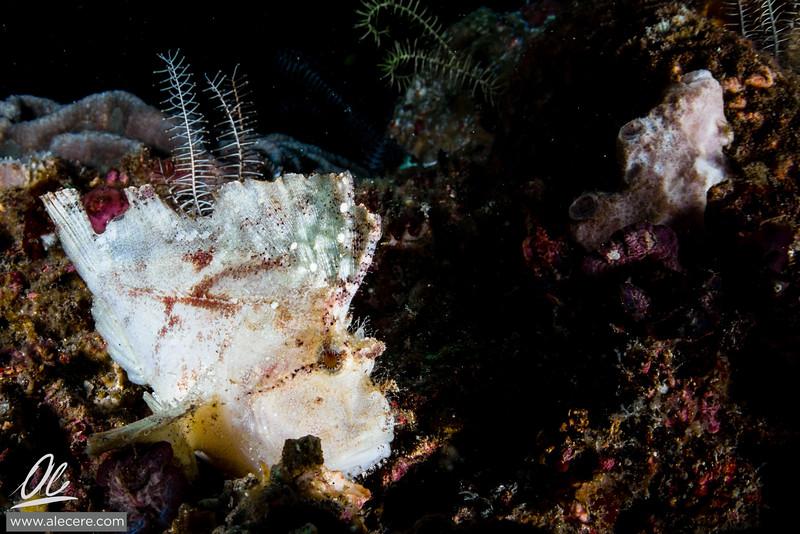 Leaffish on reef