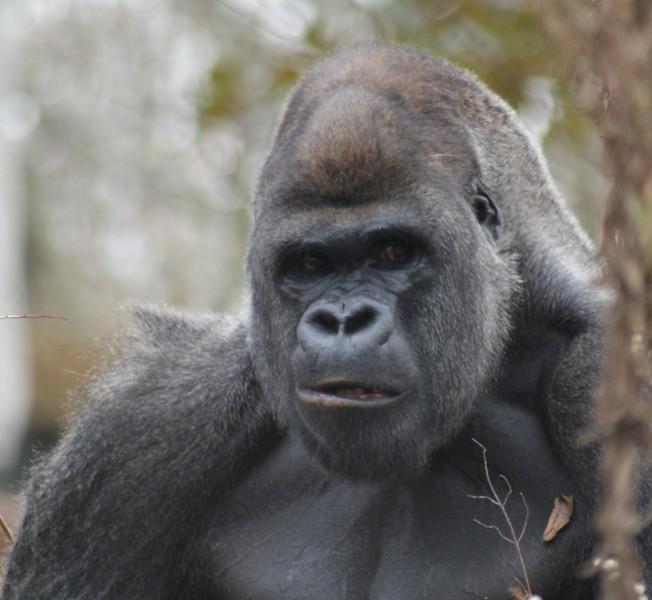 ATL Gorillas (30).JPG