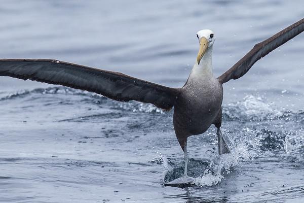 DIOMEDEIDAE Albatrosses