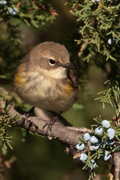 Warbler - Yellow-rumped - Lake Vadnais - Vadnais Heights, MN