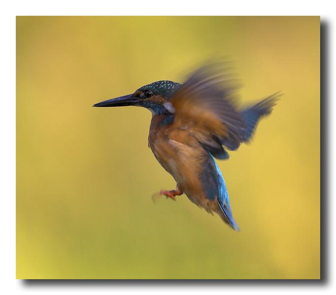 Kingfisher-coll-33-01-copy.jpg