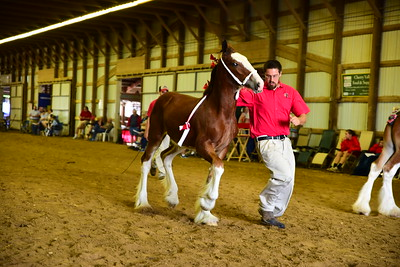 20 571 Clyde stud foal