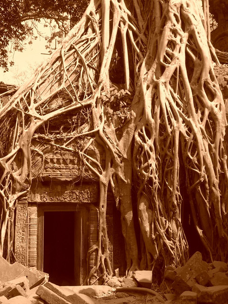 Winding Roots at Ta Prohm - Angkor, Cambodia