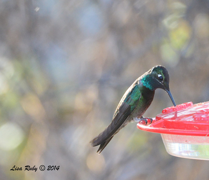 Magnificent Hummingbird - 4/20-2014 - Ash Canyon B&B, Hereford, Arizona
