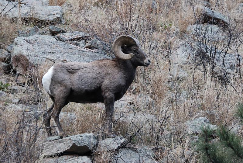 Bighorn Sheep 12062008 137.jpg