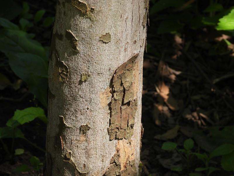 American Sycamore (Platanus occidentalis)