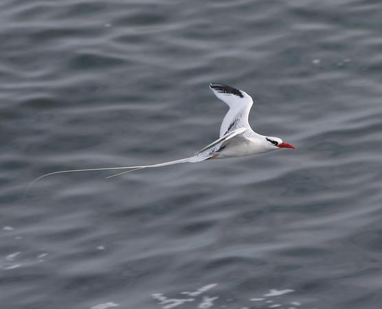 Tropicbird Galapagos