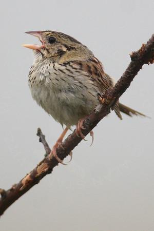 Sparrow, Henslow's