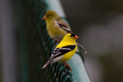 Birds A -B