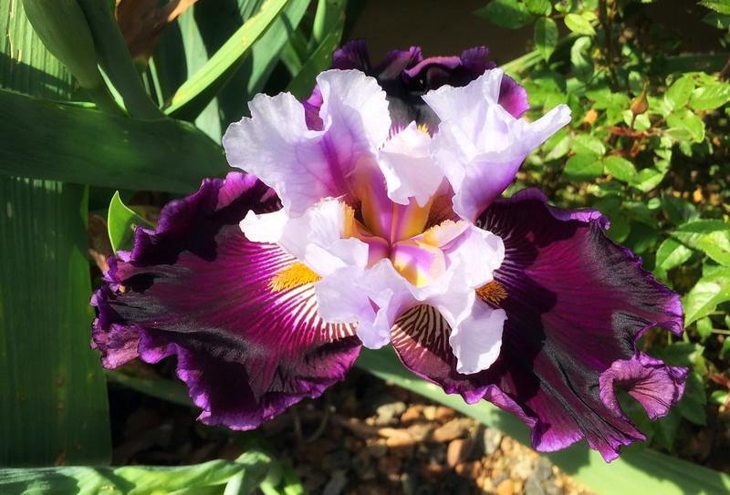 first iris.jpg