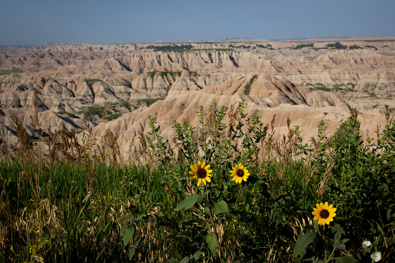 Sunflowers in the Badlands-8091.jpg